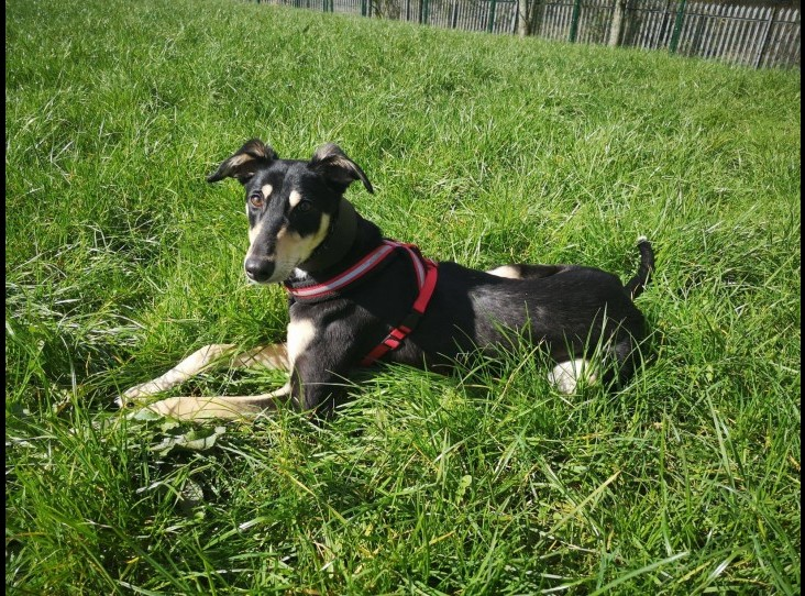 Adopt a Saluki Cross dog in Lancashire - Floss